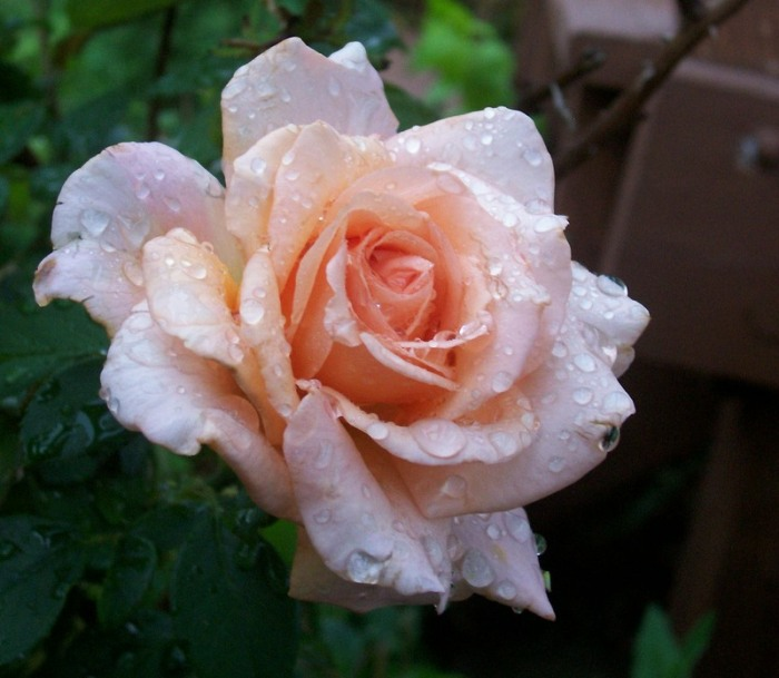 pink-rose-for-amazing